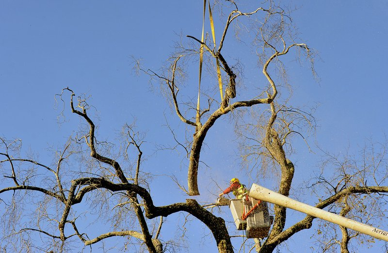 Elsa the Elm is cut down in Scarborough at the Oak Hill intersection today. Allen Gaddy, an arborist for Bartlett Tree Experts, a Scarborough company, begins the process of removing the branches before the tree is severed at the ground level.