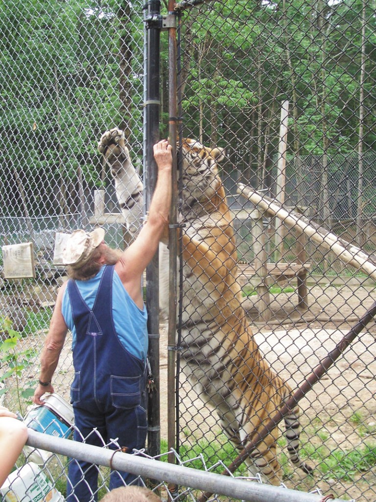 WAY UP THERE: Bob Miner interacts with a Bengal tiger through a gap in a chainlink fence at his private park in Mount Vernon.