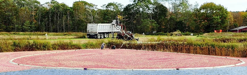 Workers do a wet harvest of cranberries on Tuesday afternoon at Popp Farm in Dresden.