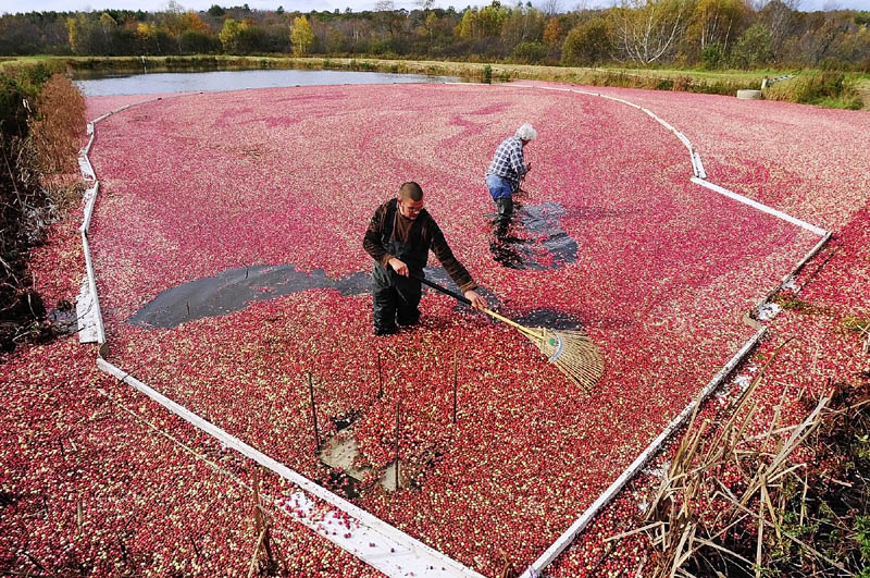 Raymond Lilly, left, and Jimmy Smith rake cranberries towards a pump intake as they do a wet harvest on Tuesday afternoon at Popp Farm in Dresden.