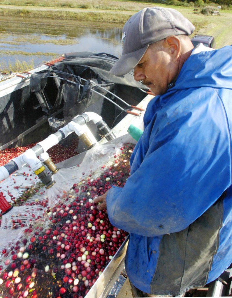 Angel Teran works on top of the truck checking cranberries as they're washed into the truck on Tuesday afternoon at Popp Farm in Dresden.