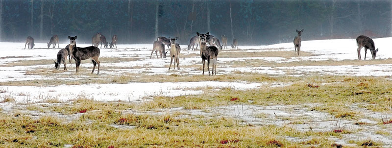 TOUGH TIMES: Deer graze in a field where the snow is melting and yielding grass in Thorndike in this 2009 photo. Tough winters in 2008 and 2009 had a major impact on the deer herd and forced the Maine Department of Inland Fisheries and Wildlife to decrease the number of permits issued for hunting.