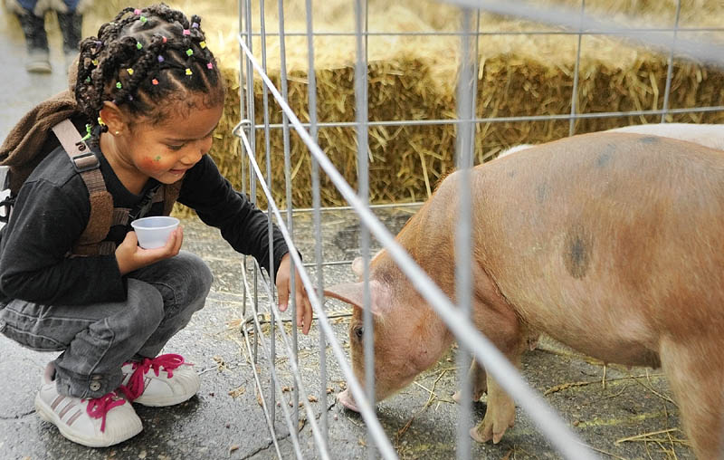 Lacasia Bynum, 2 of Augusta, feeds pellets to the piglets that were used for the Pig Square Bingo during Swine & Stein festivities Saturday on Water Street in downtown Gardiner.