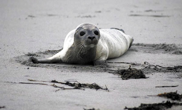 SICK SEAL: This September photo, provided Tuesday by New England Aquarium, shows a harbor seal in distress on an unspecified beach in New Hampshire. Scientists said Tuesday an influenza virus has been linked to the spate of harbor seal deaths during the fall along the northern New England shores.