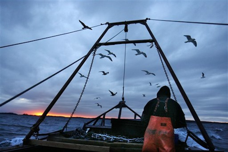 In this photo made Saturday, Dec. 17, 2011, gulls seeking scraps follow a fishing boat where sternman Josh Gatto shucks scallops on the trip back to shore off Harpswell, Maine. Scallop fishing in Maine can only take place between sunrise and sunset. (AP Photo/Robert F. Bukaty)