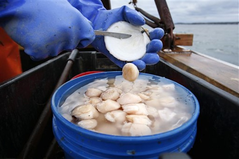 In this photo made Saturday, Dec. 17, 2011, scallop meat is shucked at sea on opening day off Harpswell, Maine. Maine scallop fishermen are expected to get record-high prices for their catch this season amid signs that the scallop resource is rebounding after a decade of low harvests. (AP Photo/Robert F. Bukaty)