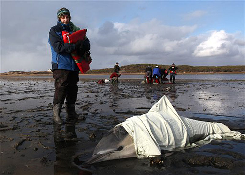 Patty Walsh, a volunteer with International Fund for Animal Welfare (IFAW), monitors the breathing of a stranded common dolphin while a team behind her prepares to move anther dolphin to a waiting vehicle at Herring River in Wellfleet, Mass., Thursday, Jan. 19, 2012. The dolphin is one in the latest batch of dolphins found, bringing a total of over 80 stranded on Cape Cod shores in the last week. (AP Photo/Julia Cumes)