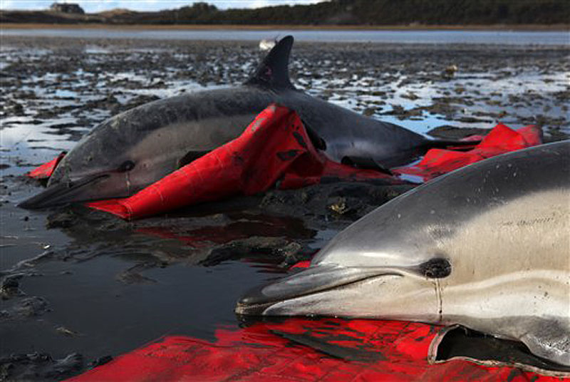 Two stranded common dolphins wait to be transported to a waiting vehicle by a team from the International Fund for Animal Welfare at Herring River in Wellfleet, Mass., Thursday, Jan. 19, 2012. (AP Photo/Julia Cumes)