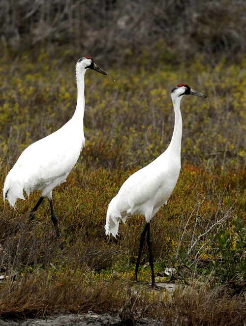 A pair of whooping cranes walk through a marsh in the Aransas Wildlife Refuge in Fulton, Texas.