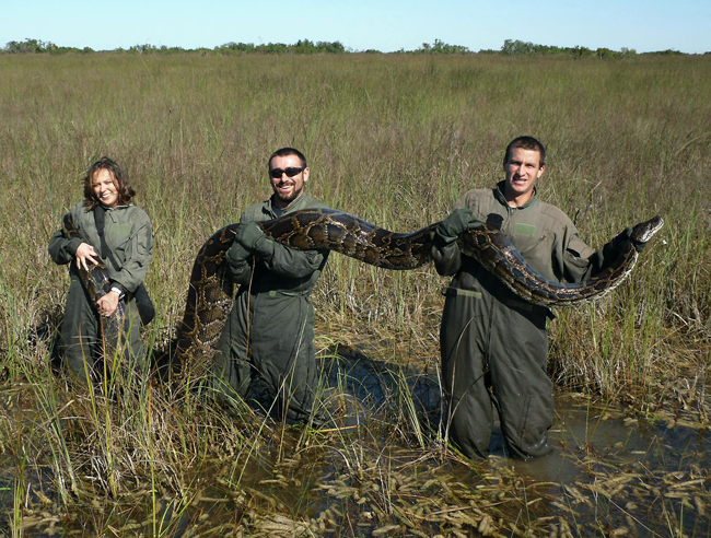 In this November 2009 photo provided by the University of Florida, researchers Therese Walters, left, Alex Wolf and Michael R. Rochford hold a 15-foot, 162-pound Burmese python that had just eaten a six-foot American alligator.