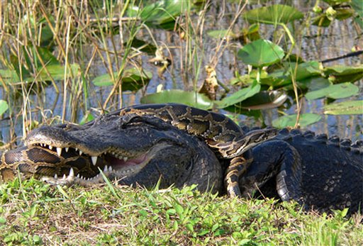 In this 2009 photo provided by the National Park Service, a Burmese python is wrapped around an American alligator in Everglades National Park.