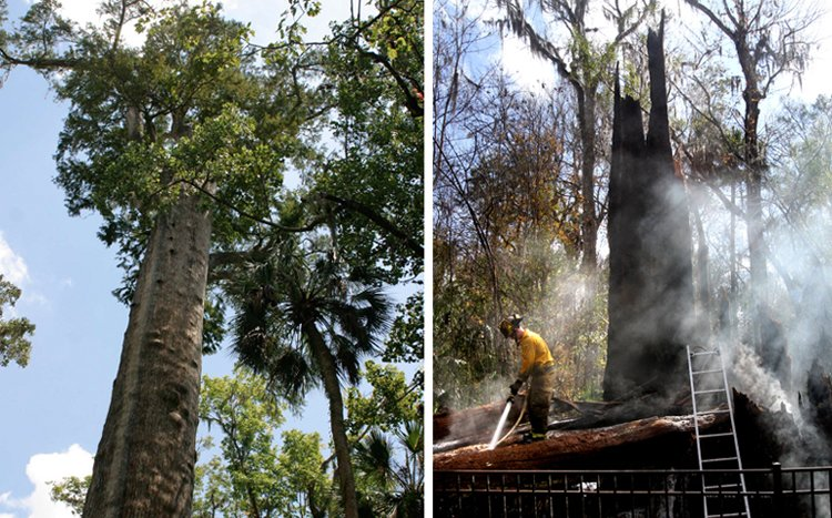 """A Seminole County firefighter foams down what is left of """"The Senator,"""" a 3,500-year-old cypress tree that burned in Big Tree Park in Longwood, Fla., today."""