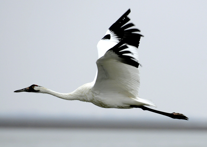 A whooping crane flies over the Aransas Wildlife Refuge in Fulton, Texas, in this recent photo. Scientists are concerned a devastating drought could hurt the recovery of the 300 endangered whooping cranes that winter in Texas.