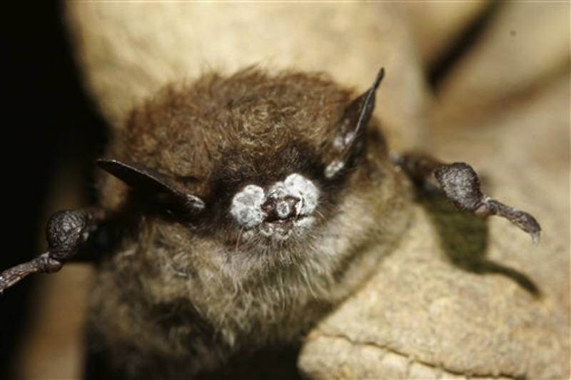 In this October 2008 photo provided by the New York Department of Environmental Conservation, a brown bat with white nose fungus is seen in New York. (AP Photo/New York Department of Environmental Conservation, Ryan von Linden)