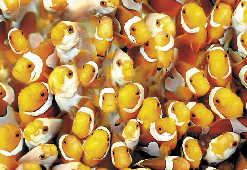 A proposal for an aquaculture operation in Augusta includes plans for tropical fish. Seen here is a tankfull of clownfish.