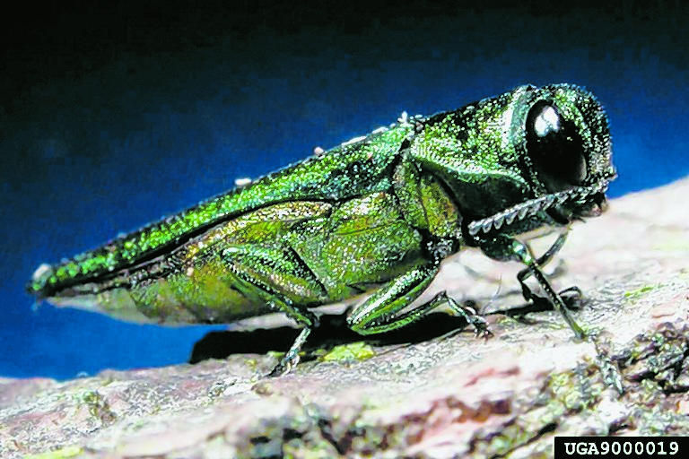 The emerald ash borer is responsible for millions of dollars of damage to ash trees across the U.S. The adult borer is a metallic, coppery-green color and one-third to one-half inch long. (Photo/David Cappaert of Michigan State University and courtesy of www.forestryimages.com)