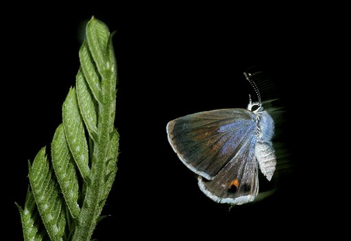 In this undated photo, a Miami blue butterfly is shown at Bahia Honda State Park in the Florida Keys. The U.S. Fish and Wildlife Service last August issued an emergency listing of the Miami blue as an endangered species. No confirmed Miami blues have been seen on Bahia Honda since July 2010.
