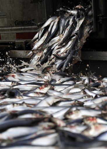 Herring are unloaded in Portland on Thursday, The top species harvested by value after lobster in 2011 were soft-shell clams, herring, baby eels and worms.
