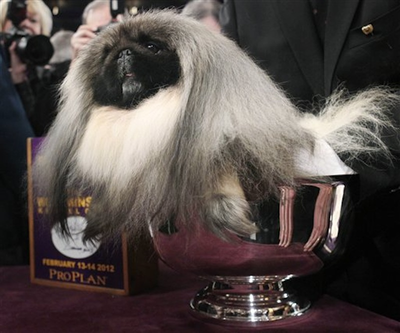 Malachy, a Pekingese, sits in the trophy after being named best in show at the 136th annual Westminster Kennel Club dog show in New York, on Tuesday, Feb. 14. (AP Photo/Seth Wenig)