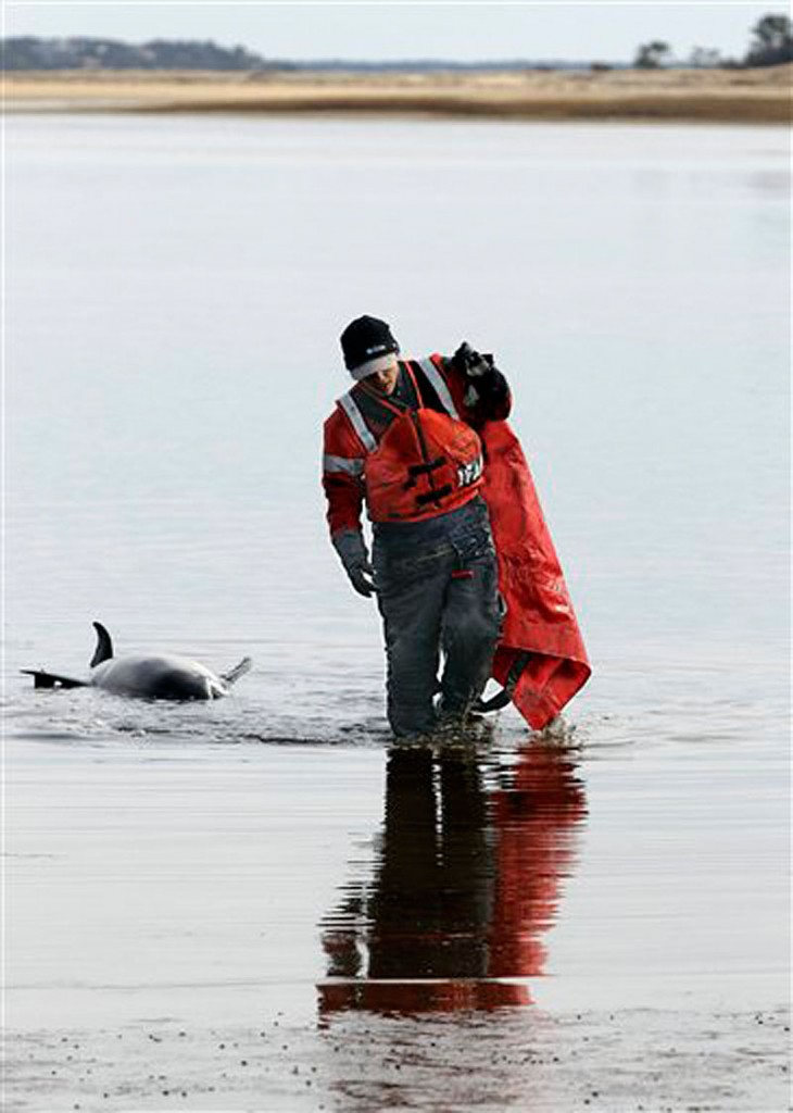 Kat Rose, an International Fund for Animal Welfare rescue team member, walks away from a dead dolphin the team was unable to save. (AP Photo/Stephan Savoia)