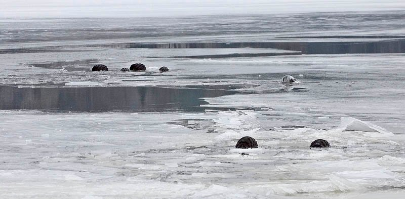 AT THE SURFACE: The wheels of two all-terrain vehicles that crashed through the ice float above the surface of the Kennebec River in Gardiner on Wednesday.
