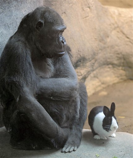 The Erie Zoo's lowland gorilla Samantha shares her space with Panda, a Dutch rabbit, at the zoo in Erie, Pa., on Thursday.