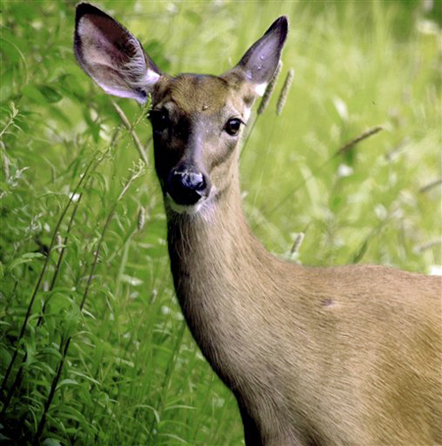 As recently as five years ago, the Maine deer harvest approached 30,000 animals a year.