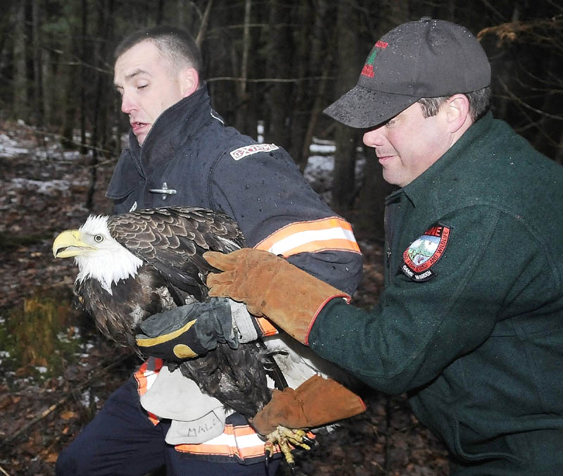 """Staff photo by Andy Molloy RAPTOR RESCUE: Gardiner firefighter Dan Freeman, left, and Game Warden Steve Allarie carry a Bald Eagle to a crate Wednesday night after two of the raptors become entangled on a tree while brawling in Litchfield. The warden and firefighters from Litchfield and Gardiner were preparing to climb up and remove the birds when they broke free. One eagle flew away and the authorities rescued the other following a foot chase through the woods after it fell to the ground. Allarie said eagle is being evaluated at Avian Haven in Freedom for injuries sustained during the fight and appears to be doing well. The banded bird will be released upon recovery, he stated. """"The bird is getting its strength back,"""" he said. """"I'm fairly confident we'll be releasing it back into the wild."""""""