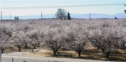 An almond orchard is in bloom recently in Ceres, Calif. A mild and dry winter that gave insects a reprieve from certain death now threatens to make spring a tough season for many U.S. farmers.