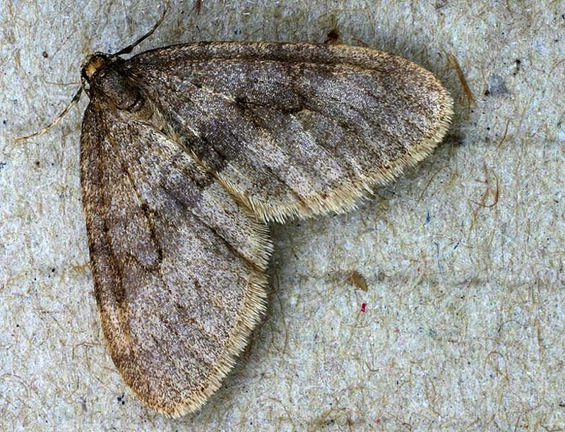 Winter moths can cause massive defoliation, and have already been detected in New Hampshire, Massachusetts and Rhode Island.