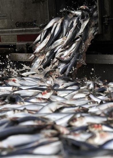 In this Feb. 23, 2012 photo, herring are unloaded in Portland, Maine. (AP Photo/Pat Wellenbach)