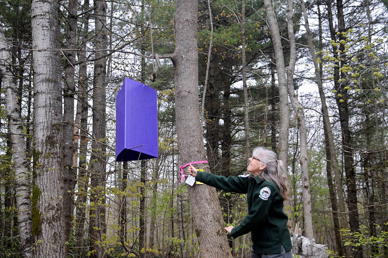 Maine Forest Service entomologist Colleen Teerling hoists an Emerald Ash Borer trap into an ash tree Thursday during an Augusta demonstration of how the device works. Several hundred of the purple traps are being deployed across Maine this summer to survey the woods about the location of the invasive borer that damages ash trees.
