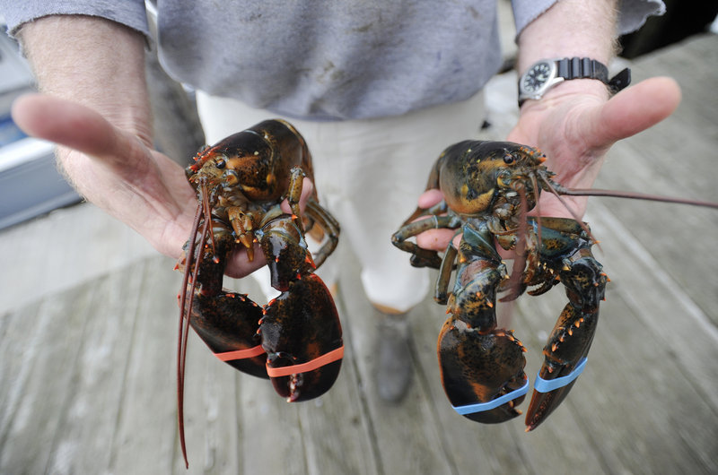 Soft-shell lobsters, like the one at left at New Meadows Lobster in Portland on Wednesday, generally aren't harvested in great numbers until June or early July.