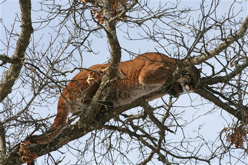 This March 4, 2009 photo provided by the Wisconsin Department of Natural Resources shows a cougar in a tree west of Spooner, Wis.