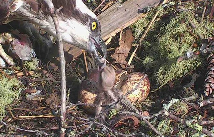 The first of three eggs laid on April 29 has hatched. Two more are expected to hatch today.