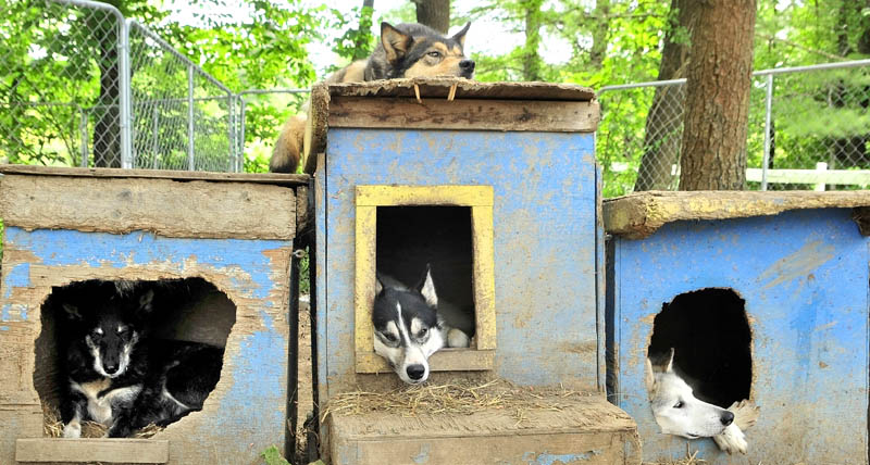 Four of the Alaskan Huskies relax in or on their dog houses, painted in the colors of the Swedish flag yellow and blue, during the Midsommar Celebration on Saturday at Heywood Kennels in Augusta.