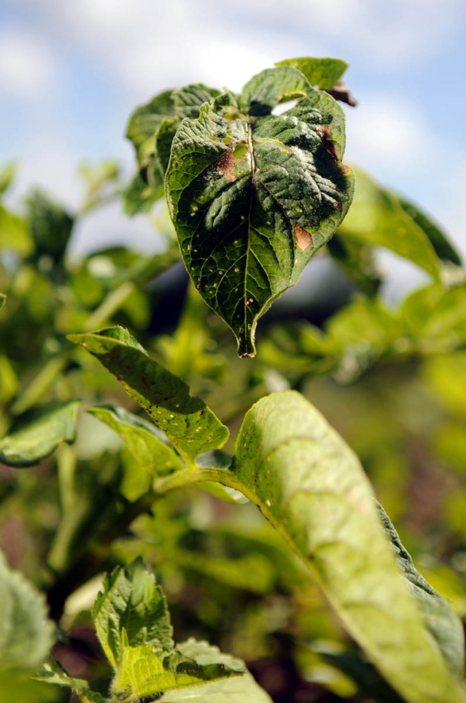 A potato plant at Wolf Creek Farm in Sidney, where weather has caused problems.