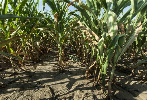 A corn crop stands severely stunted at Mineral Point, Wis. as the result of a punishing drought that has affected much of the USA's Midwest. The Associated Press photo Mineral Point;USA
