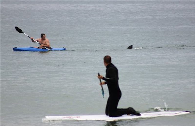 Walter Szulc Jr., in kayak at left, looks back at the dorsal fin of an approaching shark at Nauset Beach in Orleans, Mass. in Cape Cod on Saturday, July 7, 2012. An unidentified man in the foreground looks towards them. No injuries were reported. The previous week, a 12- to 15-foot great white shark was seen off Chatham in the first confirmed shark sighting of the season according to a state researcher. Two more sightings were reported Tuesday, July 2, 2012. The same waters are filled with seals, which draw the sharks because they are a favorite food of the animal. (AP Photo/Shelly Negrotti) attack Beach cape cod dorsel fin great white great white shark kayak MASN501 Nauset Orleans, Massachusetts shark