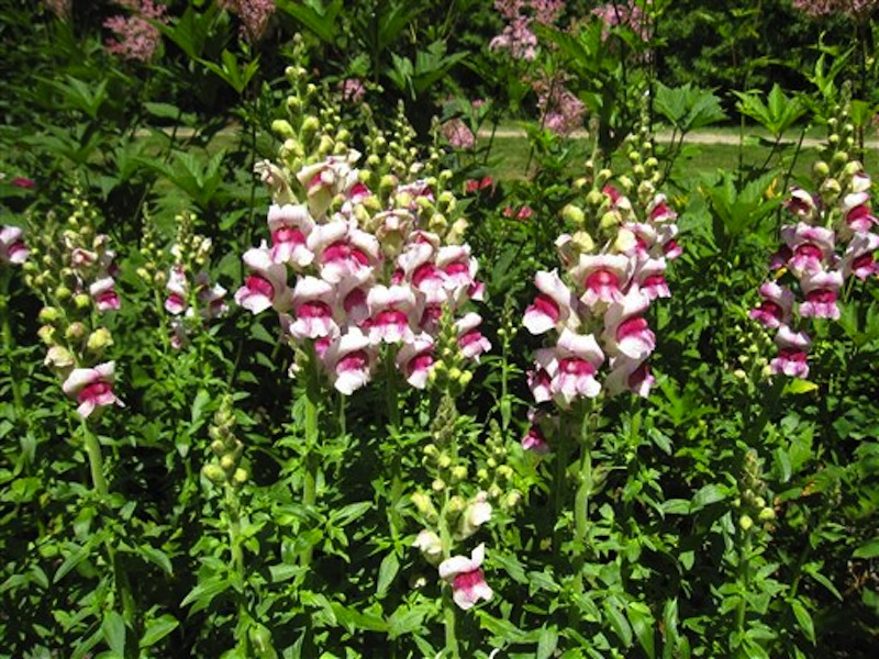 This July 12, 2012 image shows snapdragons at Thuya Garden in Northeast Harbor, Maine. Thuya's collection includes plants from renowned landscape designer Beatrix Farrand, who has connections to several gardens in the area, including a nearby private garden she designed for Abby Aldrich Rockefeller thatís only open to the public a few days a year. (AP Photo/Beth J. Harpaz)