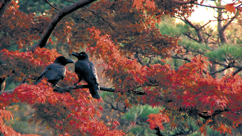 """A pair of crows are the focus of a scene from """"Tokyo Waka: A City Poem,"""" which shows at the Maine International Film Festival tonight at 9 at Railroad Square Cinema screening room 3 and Sunday at 12:15 p.m. in screening room 2."""
