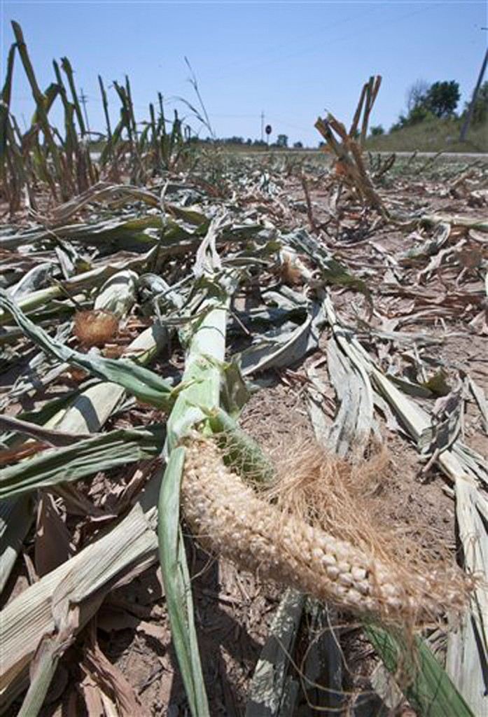 In a Monday, July 23, 2012 file photo, an under-developed ear of corn lies in a field south of Blair, Neb., after the drought-damaged field was cut down for silage. A new report warned Thursday, July 26, 2012 that the widest drought to grip the United States in decades is getting worse, the longer it goes on. The drought covering two-thirds of the continental U.S. had been considered relatively shallow, the product of months without rain, rather than years. But Thursdayís report showed its intensity is increasing rapidly. Twenty percent of the nation is now in the two worst stages of drought, 7 percent more than last week. (AP Photo/Nati Harnik, File)