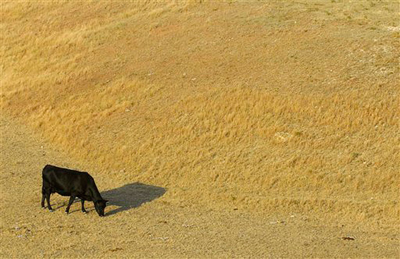 A cow looks for something to eat as it grazes in a dry pasture southwest of Hays, Kansas in a July 6, 2012 photo. A new report shows the drought gripping the United States is the widest since 1956. The monthly State of the Climate drought report released Monday, July 16, 2012 by the National Climactic Data Center says 55 percent of the continental U.S. is in a moderate to extreme drought. That's the most since December 1956, when 58 percent of the country was covered by drought. (AP Photo/The Hays Daily News, Steven Hausler) DROUGHT KANSAS CATTLE