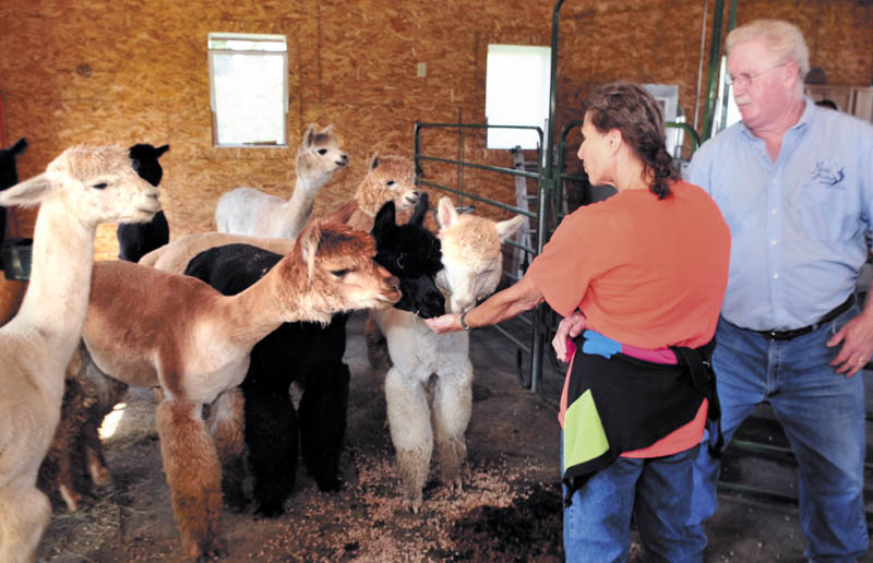 Misty Acres Alpaca Farm owner Red Laliberte watches as Vicki Worth feeds grain to alpacas during Open Farm Days in Sidney on Sunday.