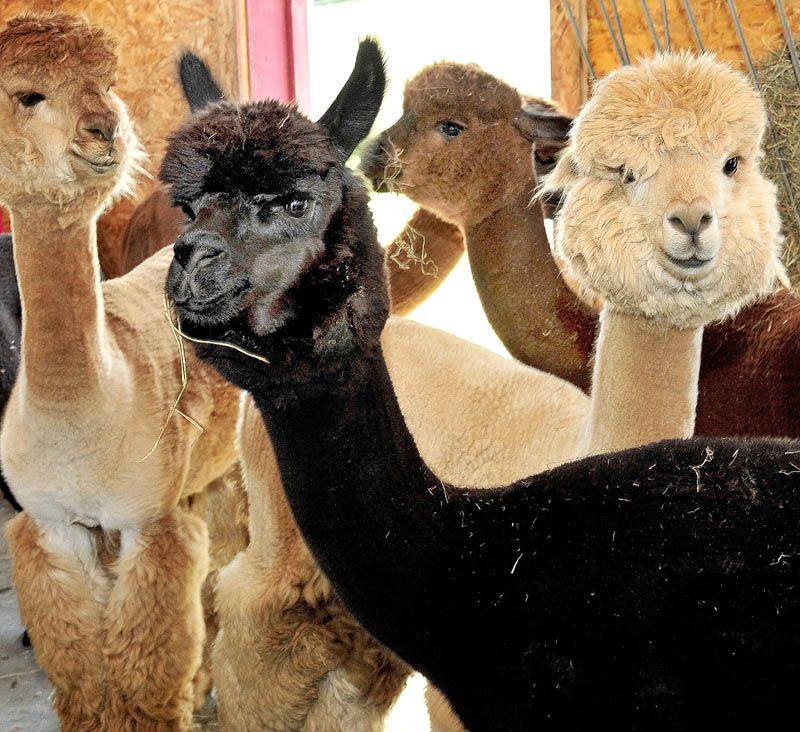 The docile faces of alpacas look at visitors at Misty Acres Alpaca Farm in Sidney during an Open Farm Days event on Sunday.