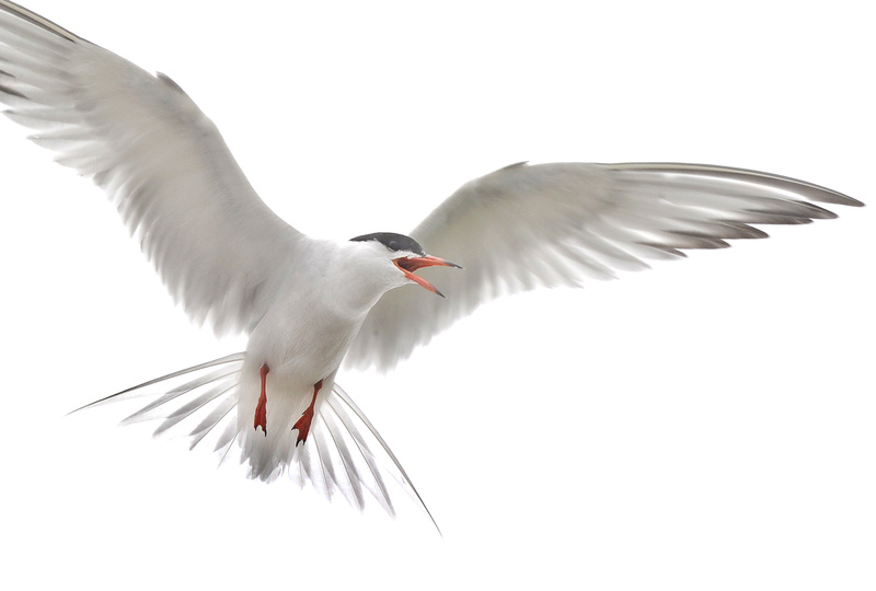 A common tern flies over its nest in this June 2010 photo.