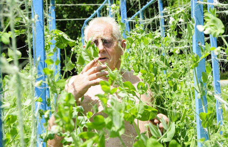 James Slauenwhite ties up pea plants onto trellises on Friday in his Litchfield garden. Slauenwhite said the Telegraph Pole shell peas are just about ready to pick. He made the trellises himself from old used hay bale twine.