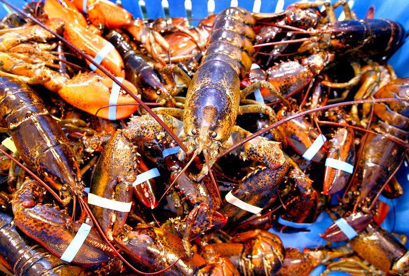 Freshly caught lobsters sit in a crate at Harbor Fish Market. An unusual combination of factors has made this a good year for catching lobsters but not a good one for selling them.