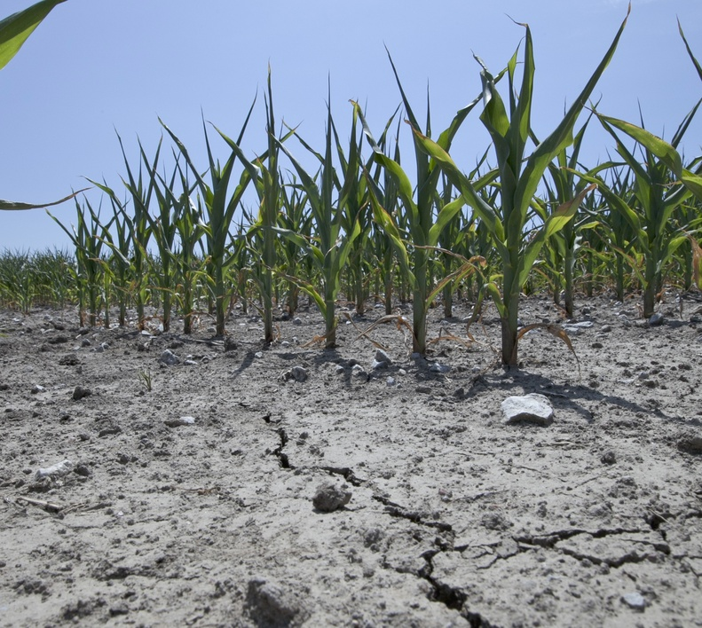 Stunted corn grows in dry, cracked soil in rural Springfield near Omaha, Neb., as a drought continues. Corn prices are expected to rise as the drought has wiped out a high percentage of the U.S. crop.