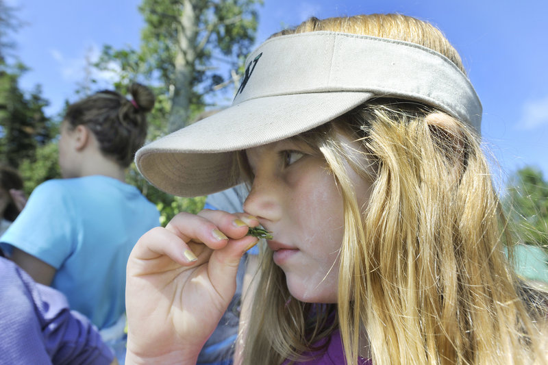 Anna Schiff, 10, smells a piece of sweet fern bush while exploring Hog Island Camp with her fellow campers.